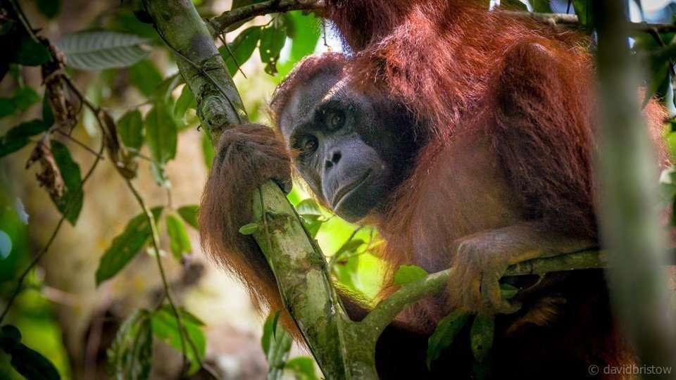 Kuta National park in Kalimantan is the best place in Kalimantan to see true wild orang-utans