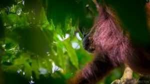 The wild Orangutang of Indonesian Borneo